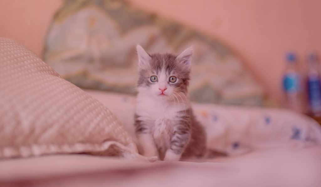 Petit Chaton Gris Clair sur un lit